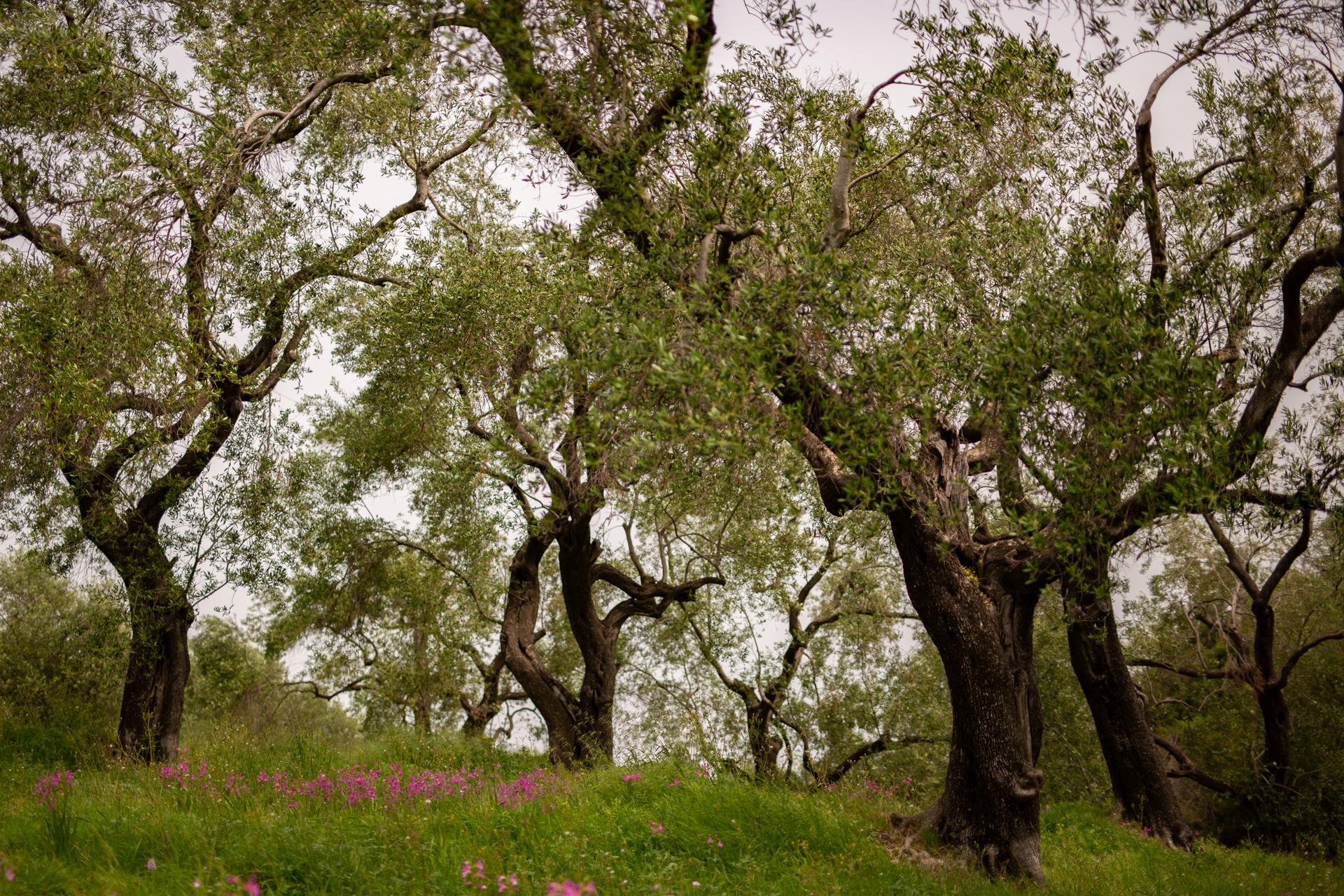 Gaj oliwny Korfu